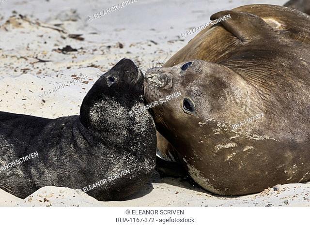 New born southern elephant seal (Mirounga leonina) pup with mother, Sea Lion Island, Falkland Islands, South America
