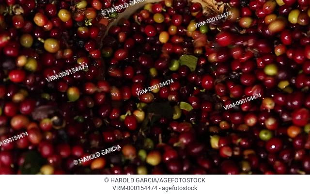 Close up of coffee beans in pools to be pulped with Threshers. Coffee Plantation Farm in the rural area of Huila. Colombia