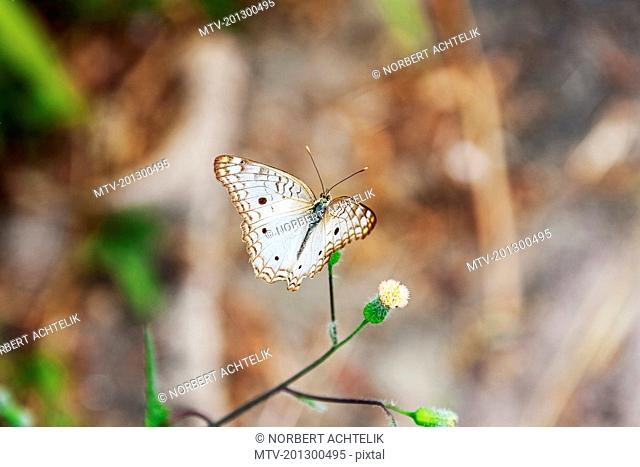 White Peacock Butterfly (Anartia jatrophae) on wild flower, Canaima National Park, Venezuela