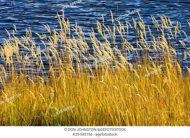 Autumn grasses along shore of Lower Lake. Peter Lougheed Provincial Park. Alberta