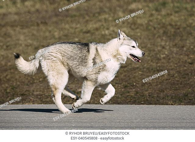 Young Funny White And Gray Husky Puppy Dog Play Run Outdoor