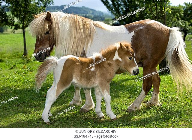 Shetland Pony. Pinto mare and foal (4 weeks old) on a pasture