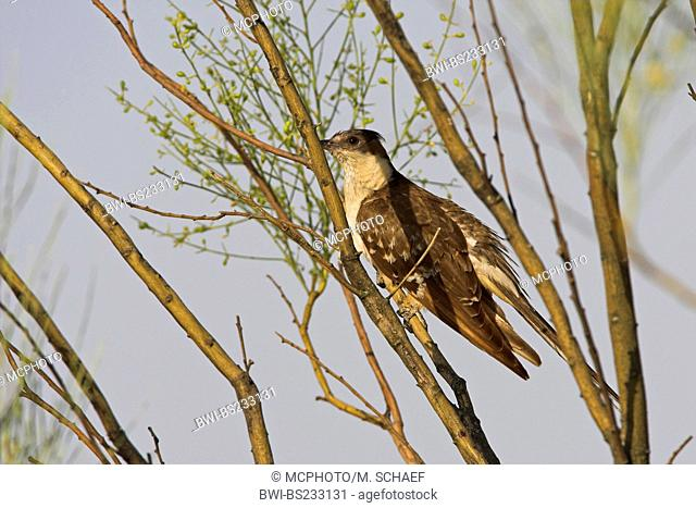 great spotted cuckoo (Clamator glandarius), sitting in the branches of a tree, Spain, Extremadura