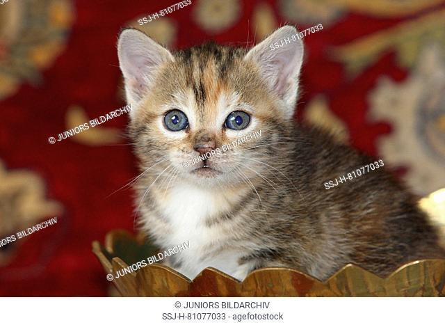 Domestic cat. Kitten sitting in a wooden bowl. Germany