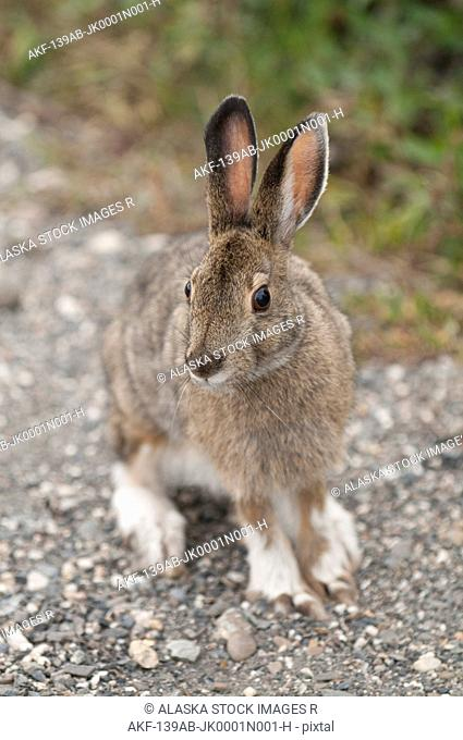Snowshore Hare sitting on the ground in Teklanika Campground, Denali National Park and Preserve, Interior Alaska, Summer