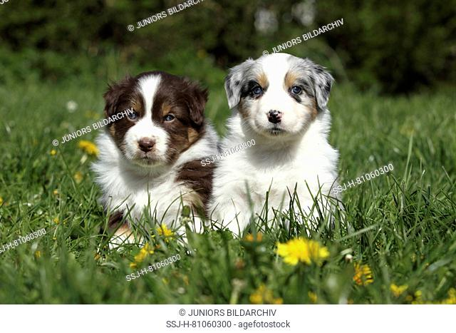 Australian Shepherd. Two puppies (5 weeks old) sitting in grass. Germany