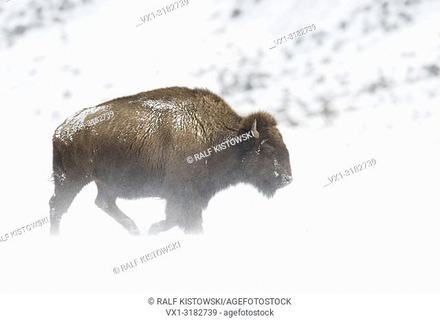 American Bison ( Bison bison ) in harsh winter weather conditions, walking through blowing snow over plains of Yellowstone NP, Wyoming, USA.