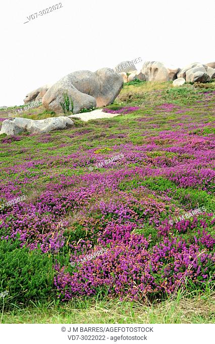 Bell heather (Erica cinerea) is a shrub native to western Europe from Spain to Norway. This photo was taken in Armor Coast, Brittany, France