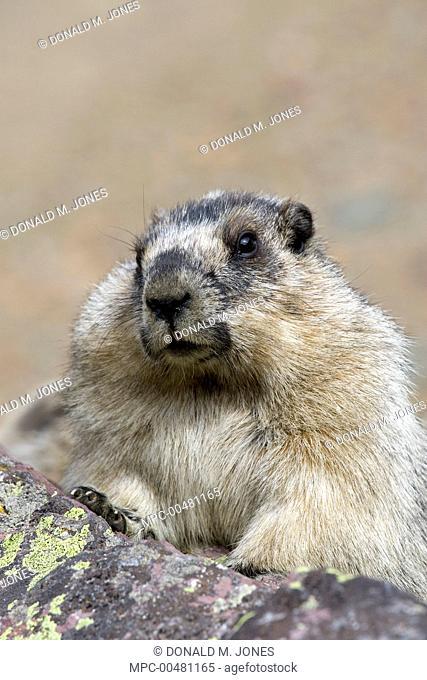 Yellow-bellied Marmot (Marmota flaviventris), Glacier National Park, Montana