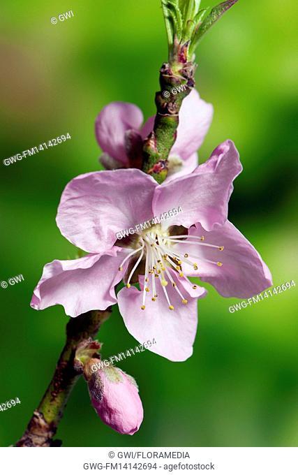 PRUNUS PERSICA AMBER (PIX ZEE) FLOWER