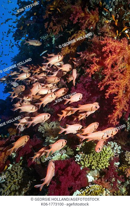 Red Soldierfish Myripristis murdjan sheltering in soft corals  Egypt, Red Sea