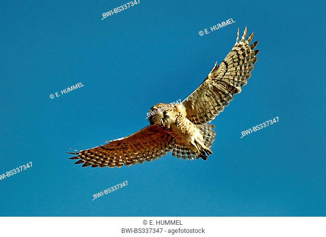 burrowing owl (Athene cunicularia), in flight, Brazil, Mato Grosso do Sul
