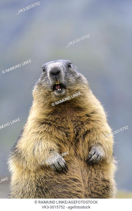 Alpine Marmot, Marmota marmota, portrait, Hohe Tauern National park, Austria