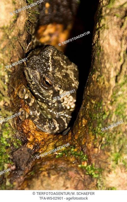 foam-nest treefrog