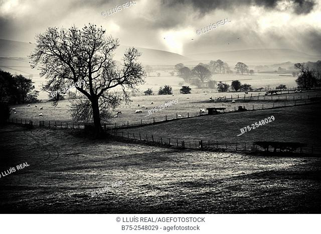 Countryside landscape with a tree in the foreground full of birds, grazing lambs and fences demarcating plots in Yorkshire Dales, England, UK, Europe