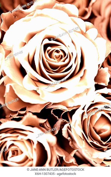 Beautiful Toned Romantic Roses Full Frame