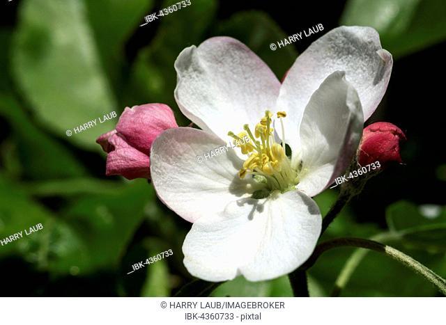 Apple, apple blossom (Malus), Baden-Württemberg, Germany
