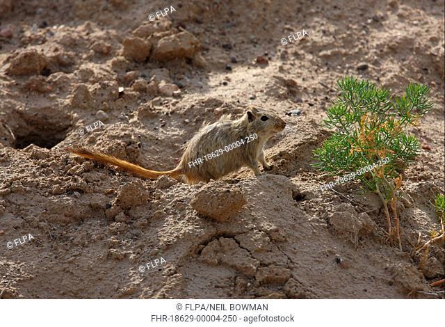 Great Gerbil Rhombomys opimus adult, leaving burrow, Almaty Province, Kazakhstan, june