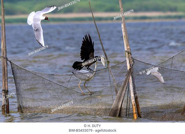 Hooded crow (Corvus corone cornix, Corvus cornix), hooded crow and grwey heron on a fishing net, Germany, Mecklenburg-Western Pomerania, Malchiner See