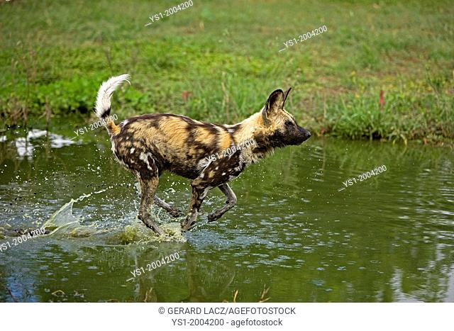 African Wild Dog, lycaon pictus, Adult crossing Water Hole, Namibia