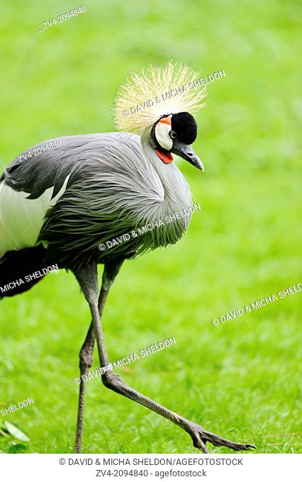 Close-up of a Black Crowned Crane (Balearica pavonina) walking on a meadow