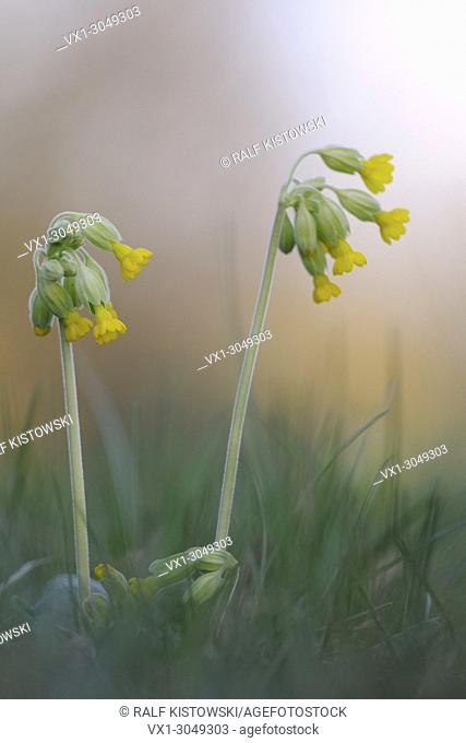 Close up of yellow blossoming Common cowslip / Echte Schluesselblume (Primula veris)