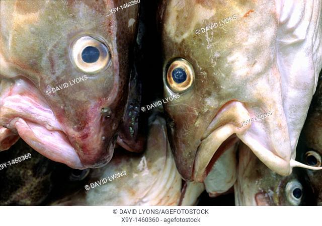 Freshly caught and landed cod fish  North Sea, Atlantic, British Isles fishing industry
