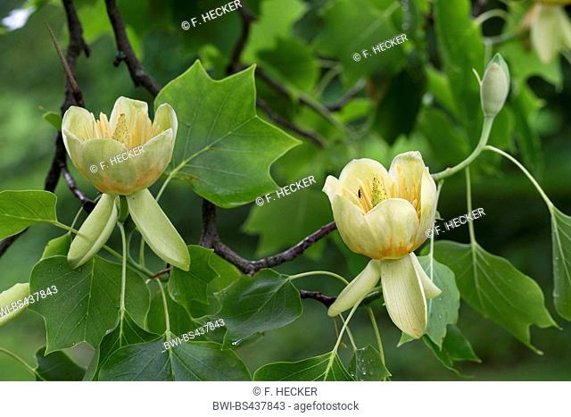 tulip tree (Liriodendron tulipifera), blooming branch
