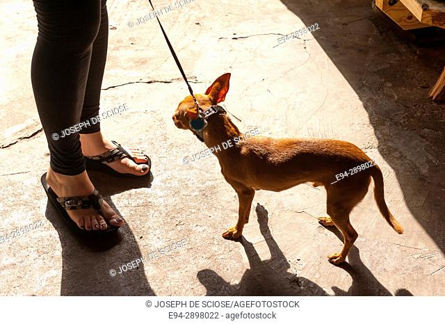 A Chihuahua on a leash with a partial view of a woman's legs standing on a street