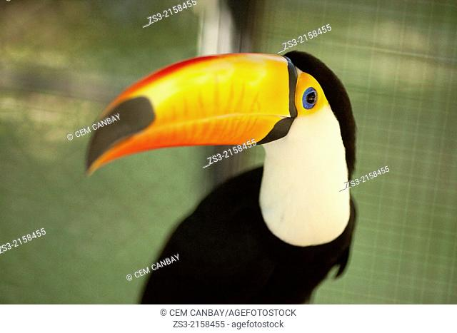 Close-up shot of a toucan in a cage at the zoo, Surat Thani, Koh Samui, Surat Thani Province, Thailand, Asia