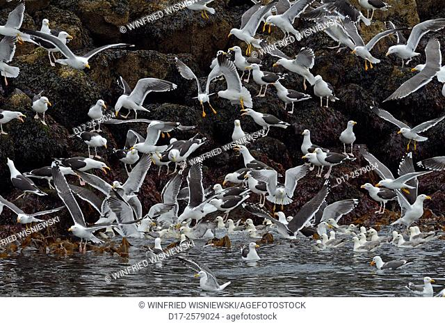 Great black-backed gulls (Larus marinus), lesser black-backed gulls (Larus fuscus graellsii) and fulmars ((Fulmarus glacialis)) near the harbour of...