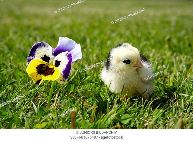 Domestic chicken, Orpington chicken. Chick standing in grass next to Pansy flower. Germany