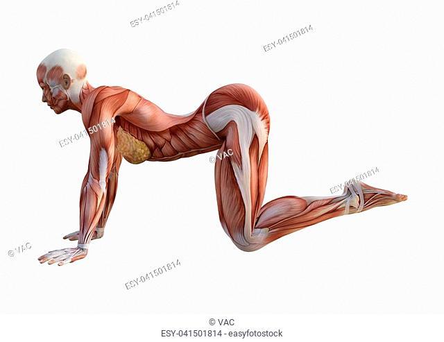 Muscle anatomy map Stock Photos and Images   age fotostock on yoga energy, yoga international, yoga back, yoga stretches, yoga adrenal glands, yoga leg workout, yoga history, yoga skin, yoga peace, yoga anatomy, yoga strength, yoga mind, yoga bones,