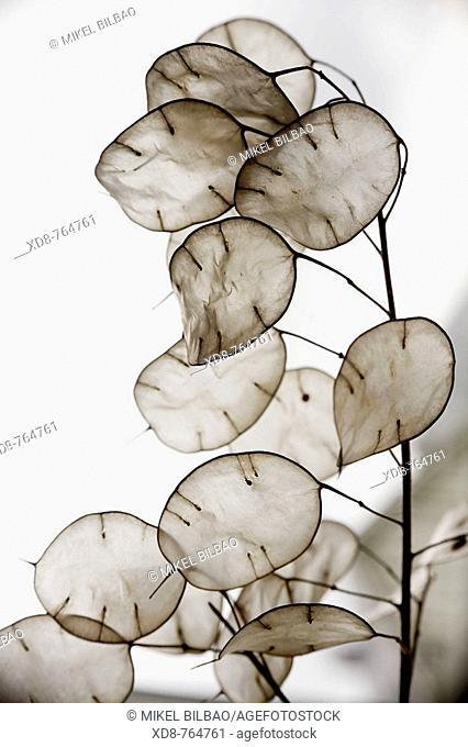 Annual Honesty Lunaria annua seed pods