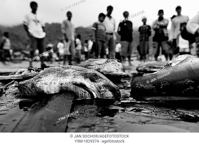 Cut shark heads and carcasses lie on the beach of Puerto Lopez, Ecuador, 6 April 2012  Every morning, hundreds of shark bodies and thousands of shark fins are...