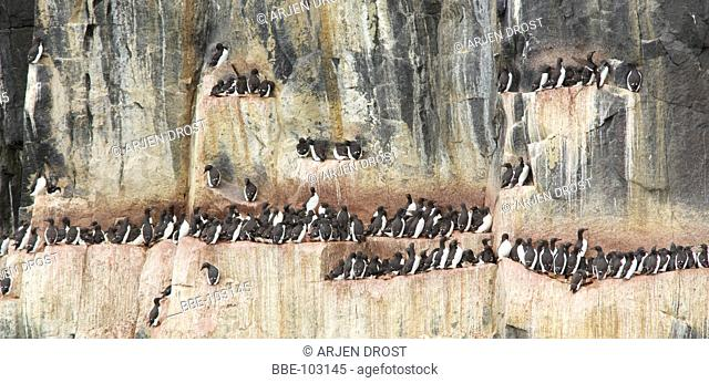 Brunnich's Guillemots at the colony of Alkefjellet, Spitsbergen