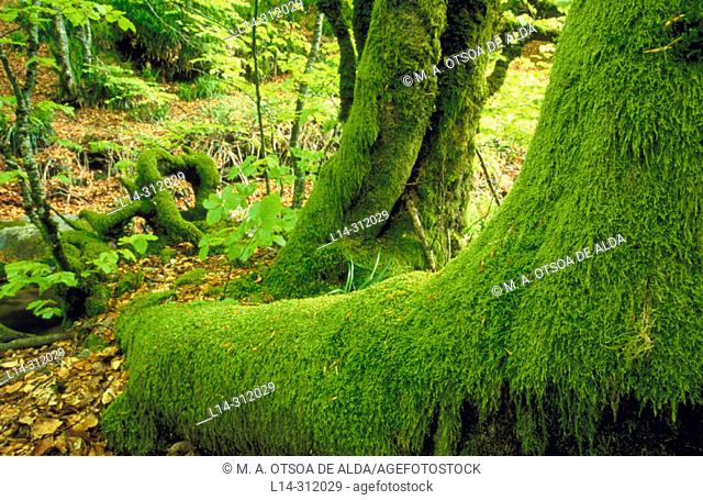 Moss in forest, Irati. Navarra, Spain