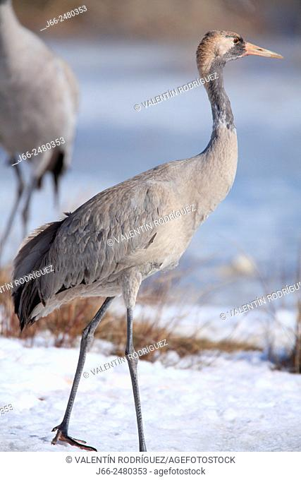 Young cranes (Grus grus) in the wildlife reserve Gallocanta. Zaragoza. Spain