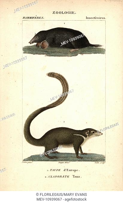 Common mole, Talpa europaea, and large treeshrew, Tupaia tana. . Handcolored copperplate stipple engraving from Frederic Cuvier's Dictionary of Natural Science:...