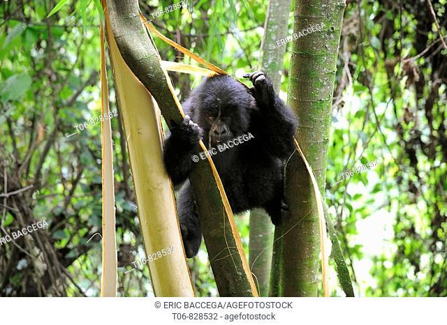 Mountain gorilla (Gorilla beringei beringei) stripping bark from trees to feed on pulp, Volcanoes National Park, Rwanda, Africa