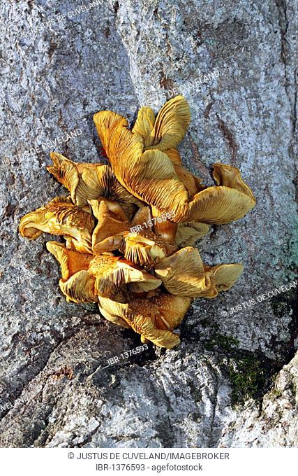 Old mushrooms, honey fungus (Armillaria mellea) growing on the tree trunk of a common beech (Fagus sylvatica)