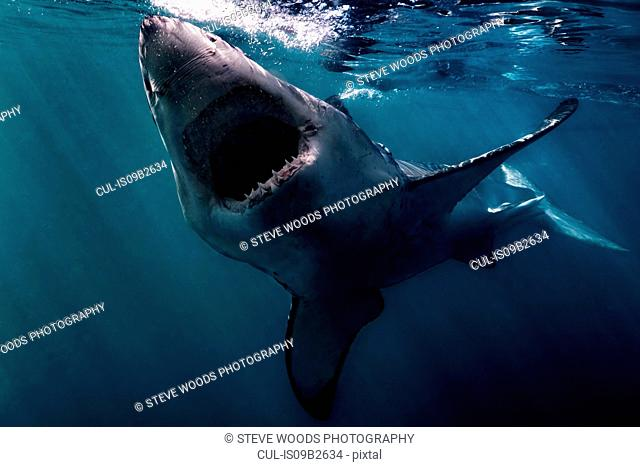 Great White Shark (Carcharodon Carcharias) swimming near surface of ocean, Gansbaai, South Africa