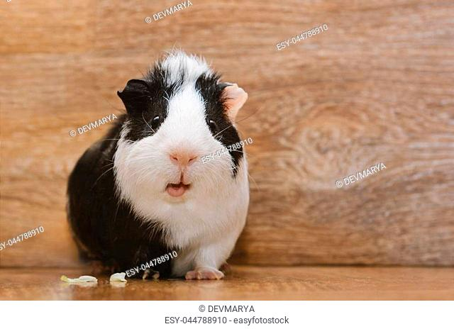 Paw of a guinea pig Stock Photos and Images | age fotostock