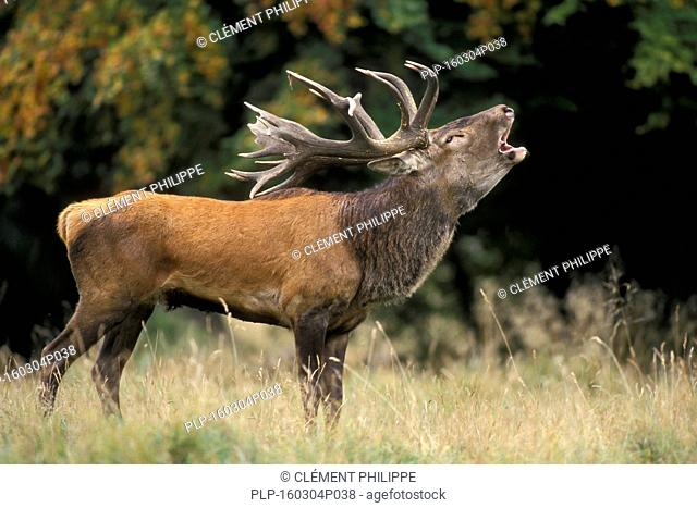 Red deer (Cervus elaphus) stag bellowing during the rut in autumn forest