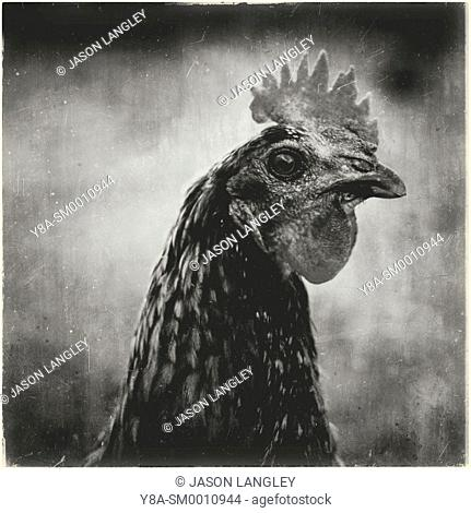 Chicken hen close up portrait