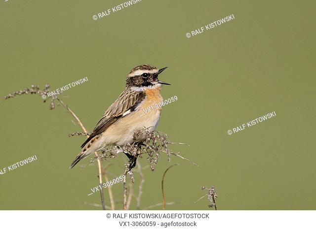 Whinchat ( Saxicola rubetra ) perched on dry twigs in front of clean green background, singing its courtship song, wildlife, Europe