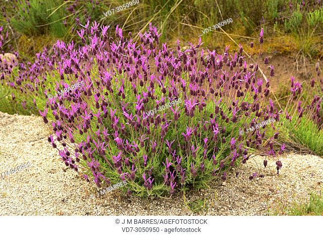 Spanish lavender or topped lavender (Lavandula stoechas) is a shrub native to Mediterranean Basin and Portugal. This photo was taken in Arribes del Duero...