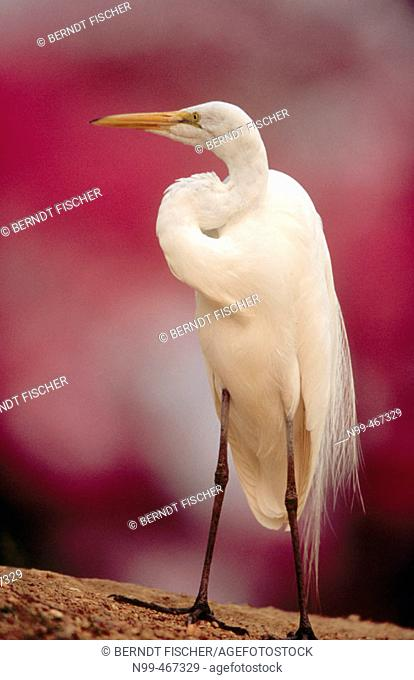 Great white egret (Egretta alba) standing on a river bank. Rose trumpet tree in the background. Pantanal near Pocone. Pantanal. Mato Grosso. Brazil