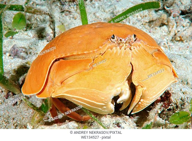 crab smooth (Calappa calappa) Bohol Sea, Cebu, Philippines, Southeast Asia