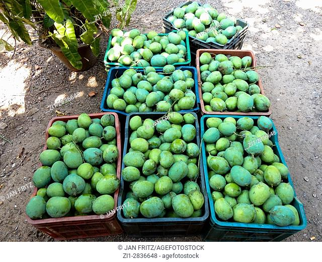 picked mangoes at farm in kerala, india